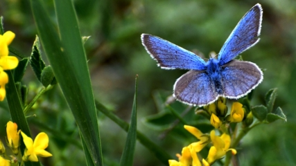 Mavi kelebekler Sarıkamış'ı mesken tuttu