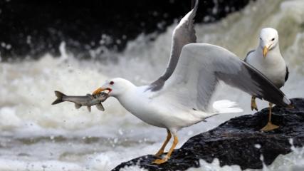 Van'da inci kefalinin tatlı sulara zorlu yolculuğu devam ediyor
