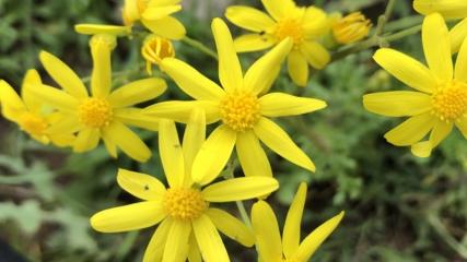 Iğdır'ın ovalarını sarı çiçekler süslüyor