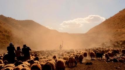 Sürülerin Nemrut Dağı'ndaki tozlu yolculuğu fotoğraf sanatçılarından ilgi görüyor