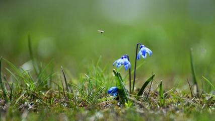 Kars'ta ilkbaharda açan mavi kardelenler doğayı süslüyor