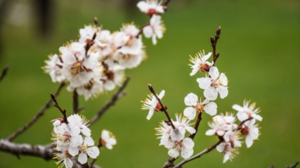 Kars'ta çiçek açan kayısı ağaçları görsel şölen sunuyor