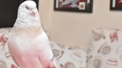 Şebap güvercinler dünyaya tanıtılacak