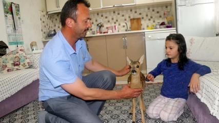 Amasyalı ailenin sevimli misafiri, karaca