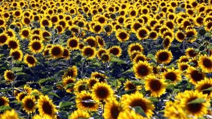 'Sarı gelinler' fotoğraf tutkunlarını ağırlıyor
