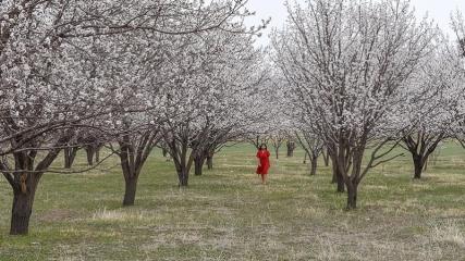 Kars'ta kayısı bahçeleri bu kez çiçeklerle beyaza büründü