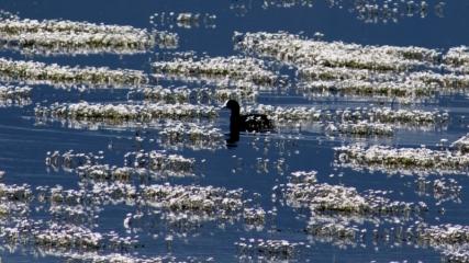 Volkanik göl, su papatyalarıyla çiçek bahçesine dönüştü