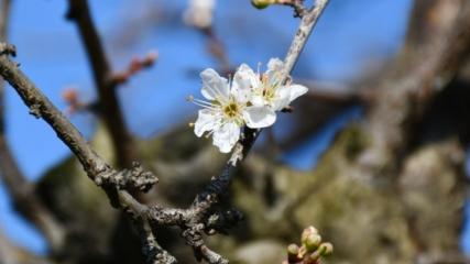 Çiçek açan erik ağaçları meyveye durdu