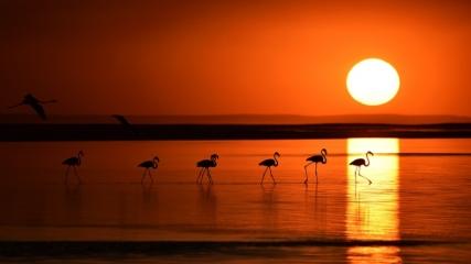 Tuz Gölü'nde yavru flamingo şöleni