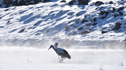 Kars'tan göç etmeyen leyleklerin kaplıca keyfi