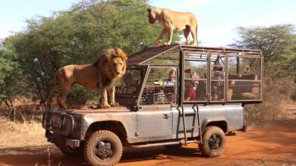 Senegal'de turistler, aslanları yakından görebilmek için