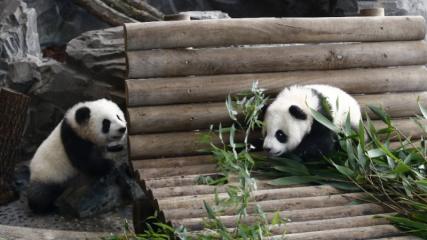 5 aylık ikiz pandalar basına tanıtıldı