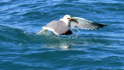 Van Gölü'nün martıları balık peşinde
